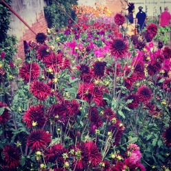 Dahlias at Felbrigg Hall