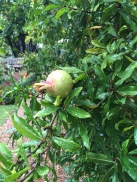 Pomegranite at Chelsea Physic Garden