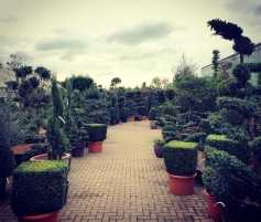 Gorgeous topary at Provender Nursery